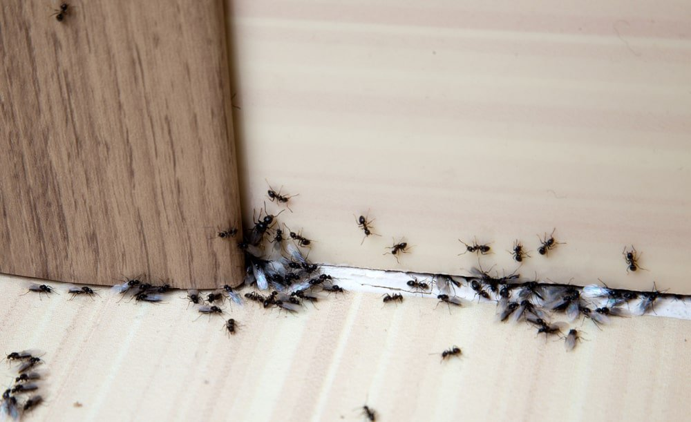 A bunch of black ants on the wall and floor.