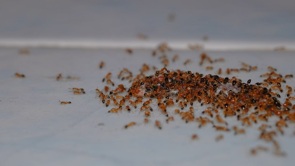 A close look at a bunch of red ants on a light surface.
