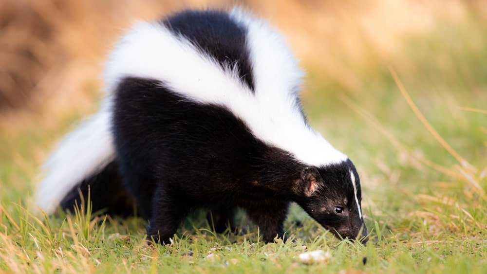 This is a close look at a skunk on a grass lawn.