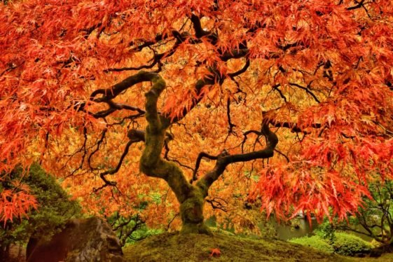 This is a close look at a gorgeous Japanese maple tree with branches and red leaves.