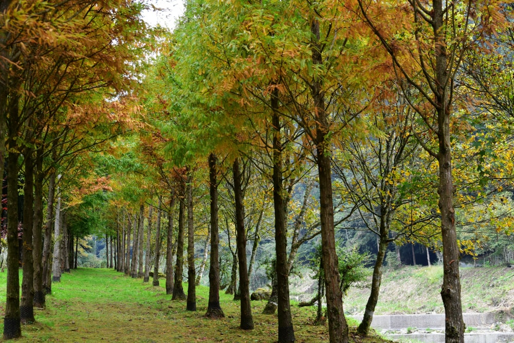 A look at rows of dawn redwood trees that create an aisle in between.