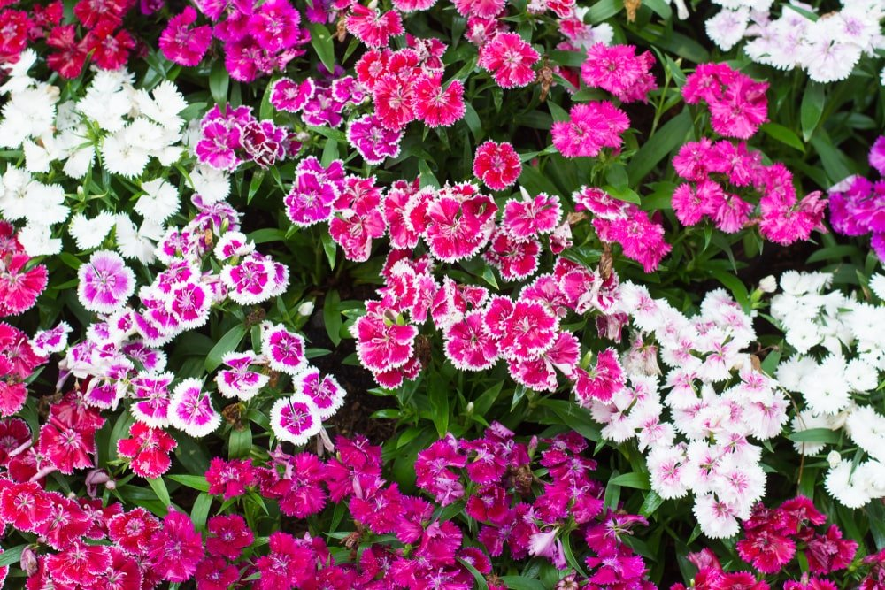 Clusters of colorful dianthus flowers in a garden.
