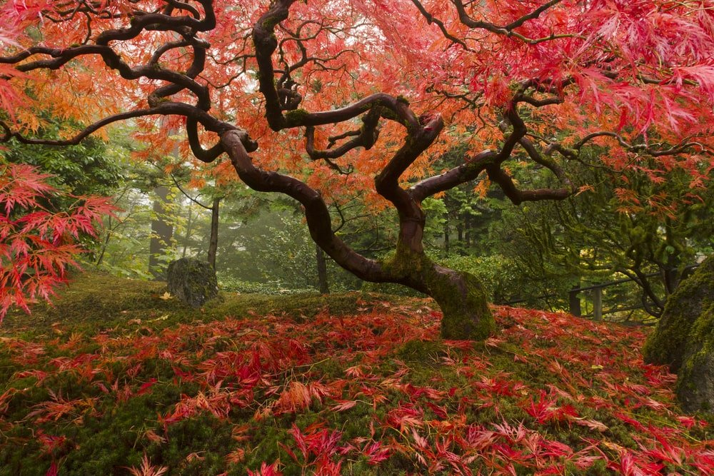 A beautiful Japanese maple tree that stands out against the green forest.