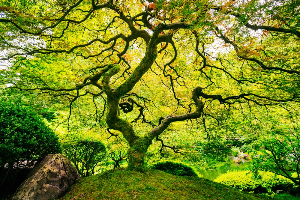 A green Japanese maple tree with vein-like branches and green leaves.