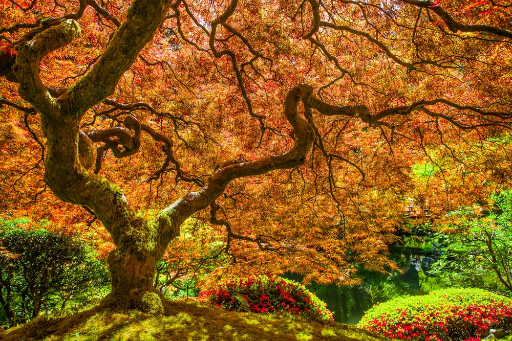 A red Japanese maple tree paired with flowering shrubs.