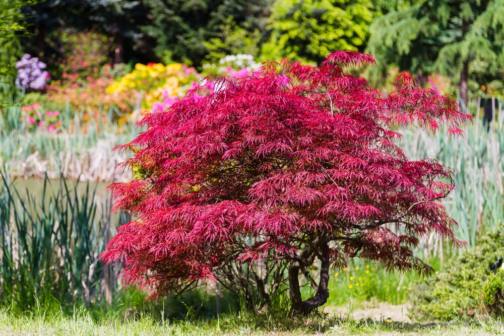This is a close look at a Japanese fire bush in a garden.