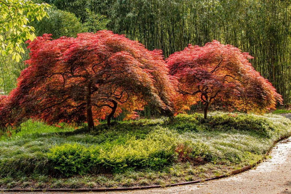A couple of young Japanese maple trees with red and yellow leaves.