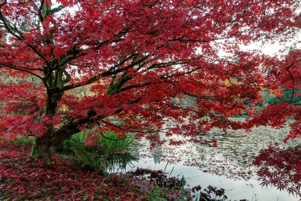 A close look at a Japanese maple tree in the park by the pond.