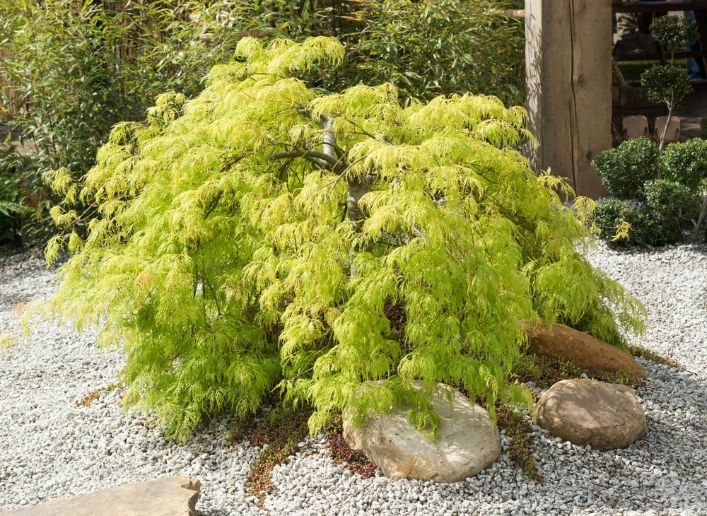This is a close look at a young Japanese maple tree planted on a graveled zen garden.