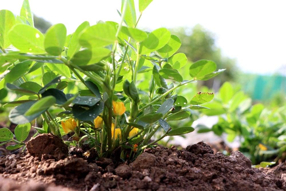 A close look at a healthy peanut plant.