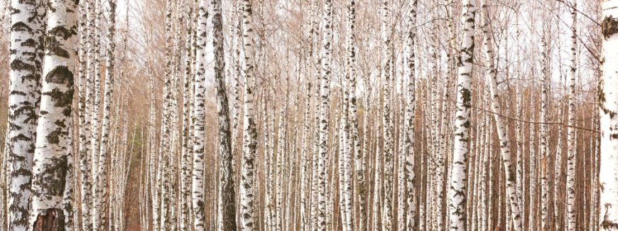 A close look at a forest of birch trees.
