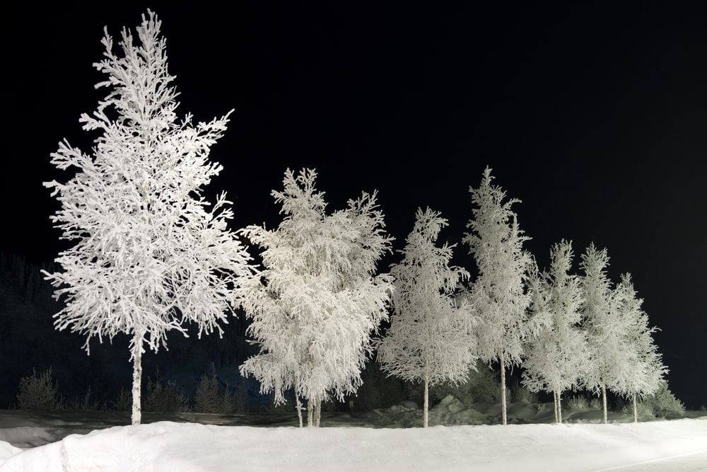 A contrast look at a row of birch trees.