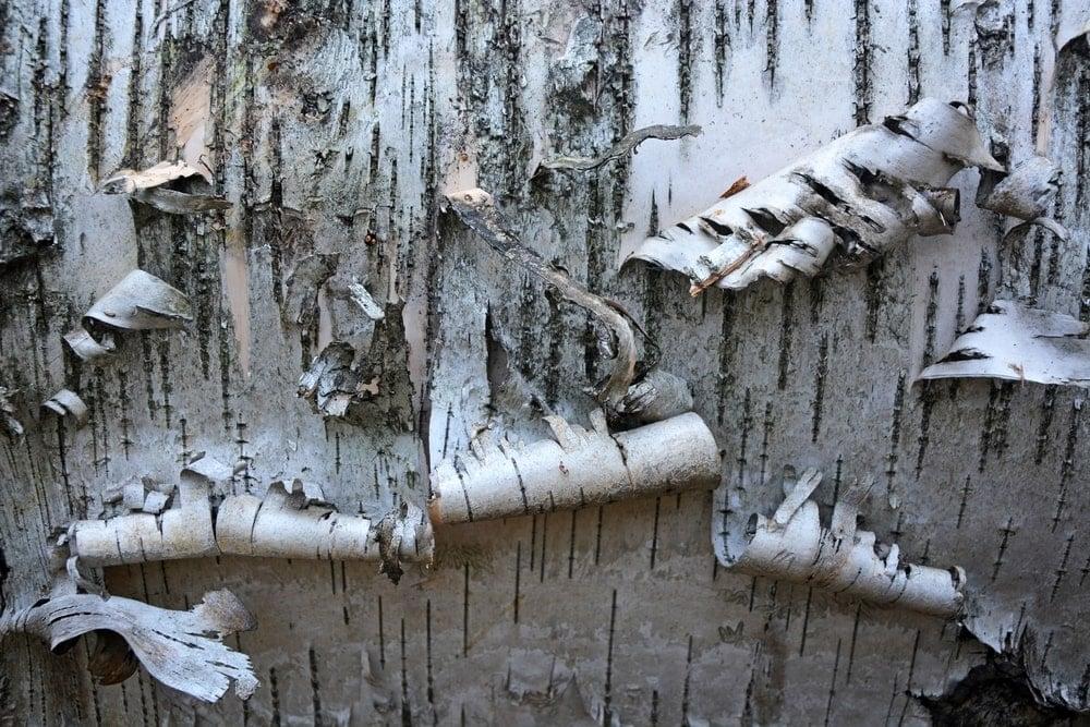 A close look at a peeling bark of a birch tree.