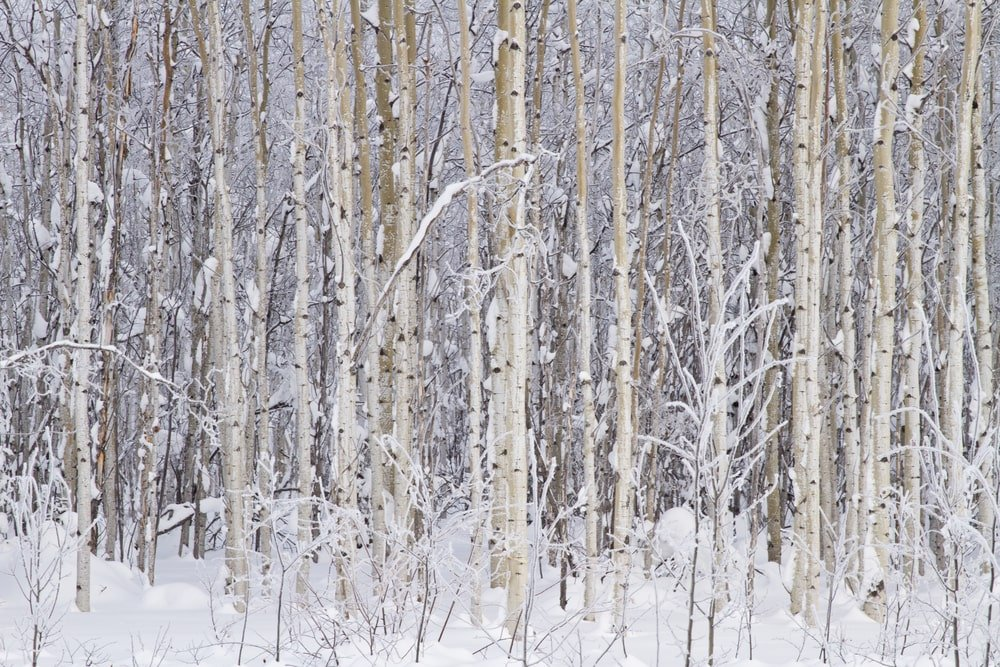 A snowy landscape filled with birch trees.