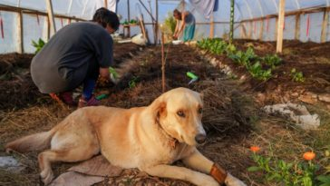 This is a close look at a permaculture farm with farmers planting seedlings and a dog resting.