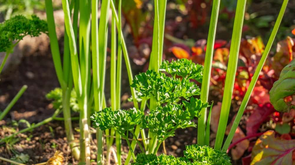This is a close look at a cluster of parsley and onion growing together.