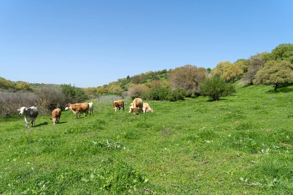 This is a large field of grass with cows grazing.