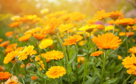 A close look at clusters of calendula flowers.