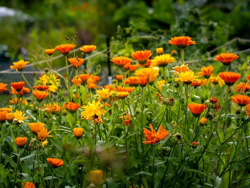 This is a close look at a field of calendula flowers.