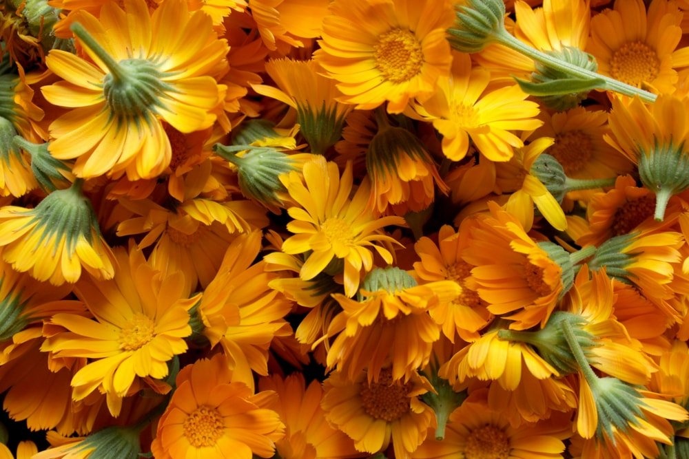 This is a close look at a bunch of calendula flowers.