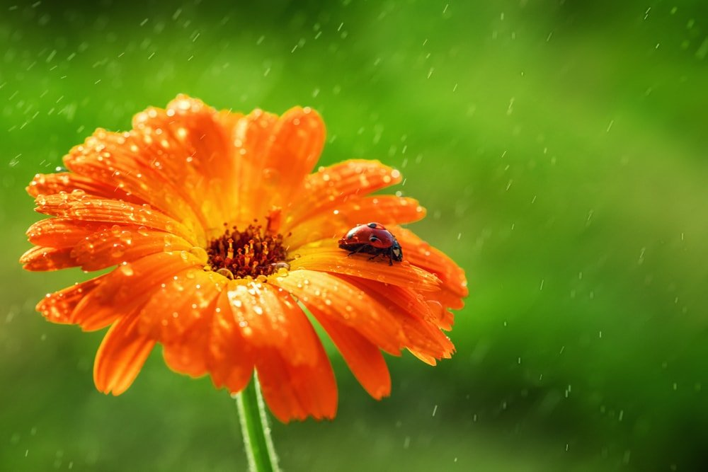 This is a close look at a single calendula flower with a ladybug.