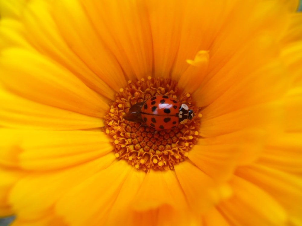 This is a very close look at a calendula flower with a ladubug.