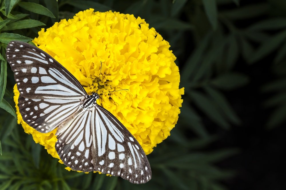 A large butterfly on a yellow marigold flower.