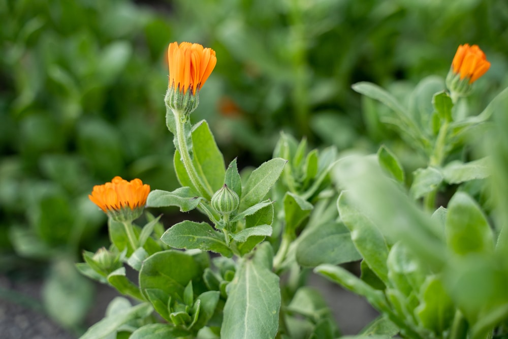 This is a close look at calendula flowers about to bloom.