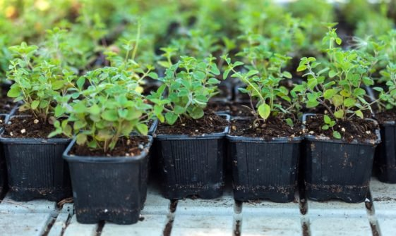 A close look at a bunch of potted oregano plants.
