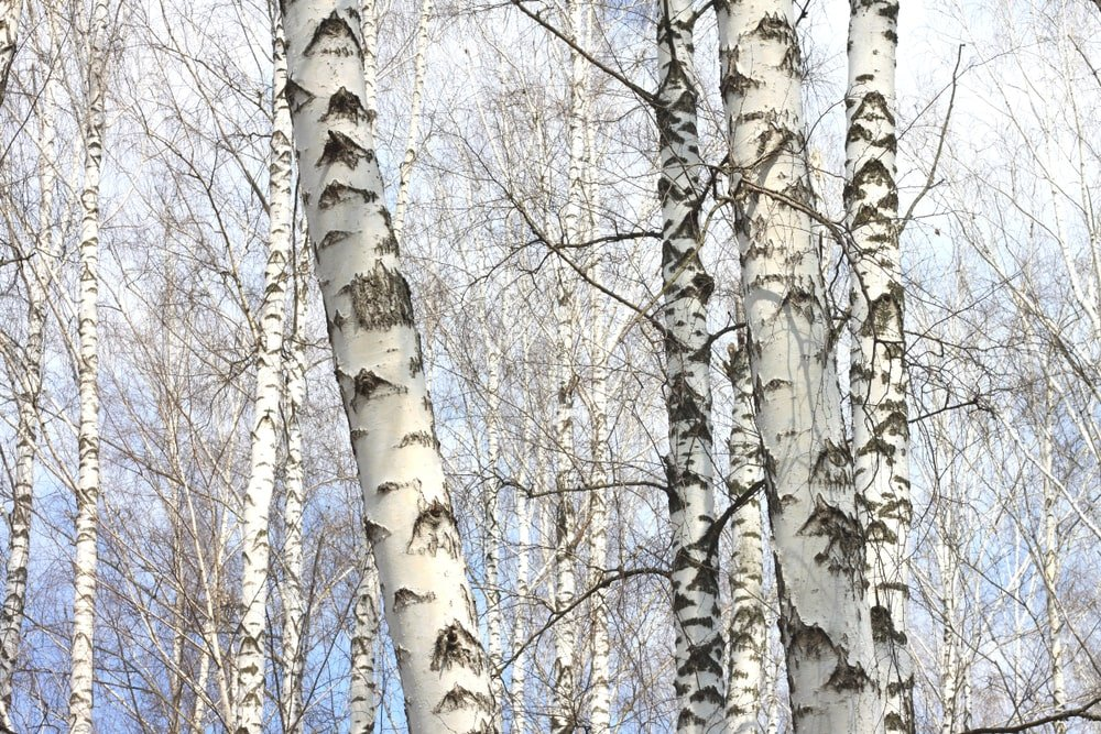 A close look at several birch trees with white bark.