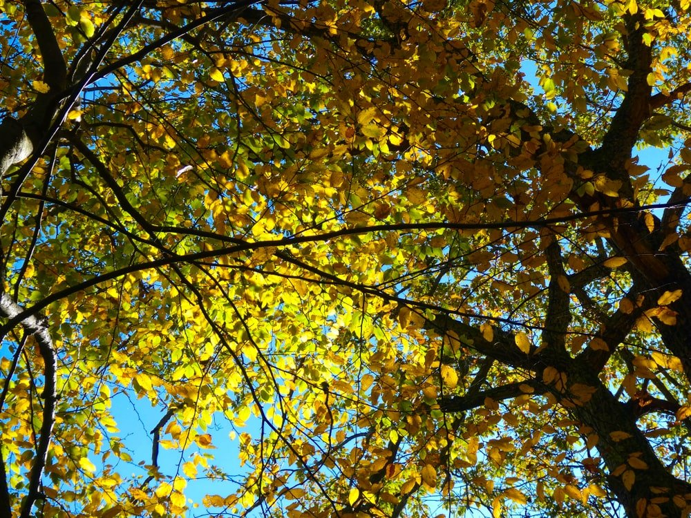 A look at the branches of a sweet birch tree with autumn leaves.