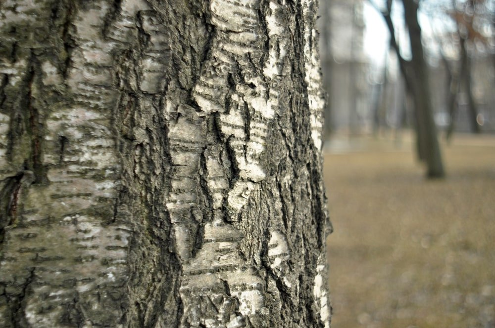 A close look at the bark of a birch tree.