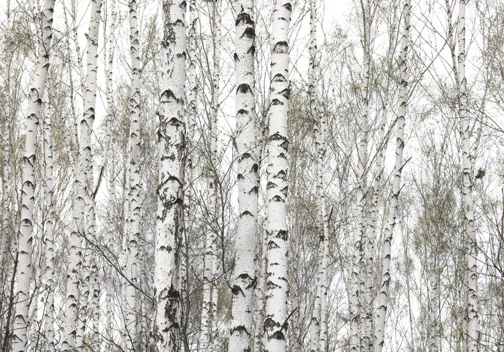 Several sweet birch trees with white bark.