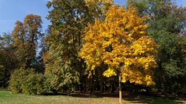 A tulip tree with autumn leaves that make it stand out.