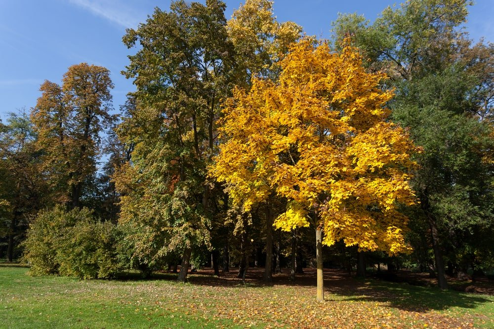 What Is A Tulip Tree 2 Types And Botanical Characteristics Home Stratosphere