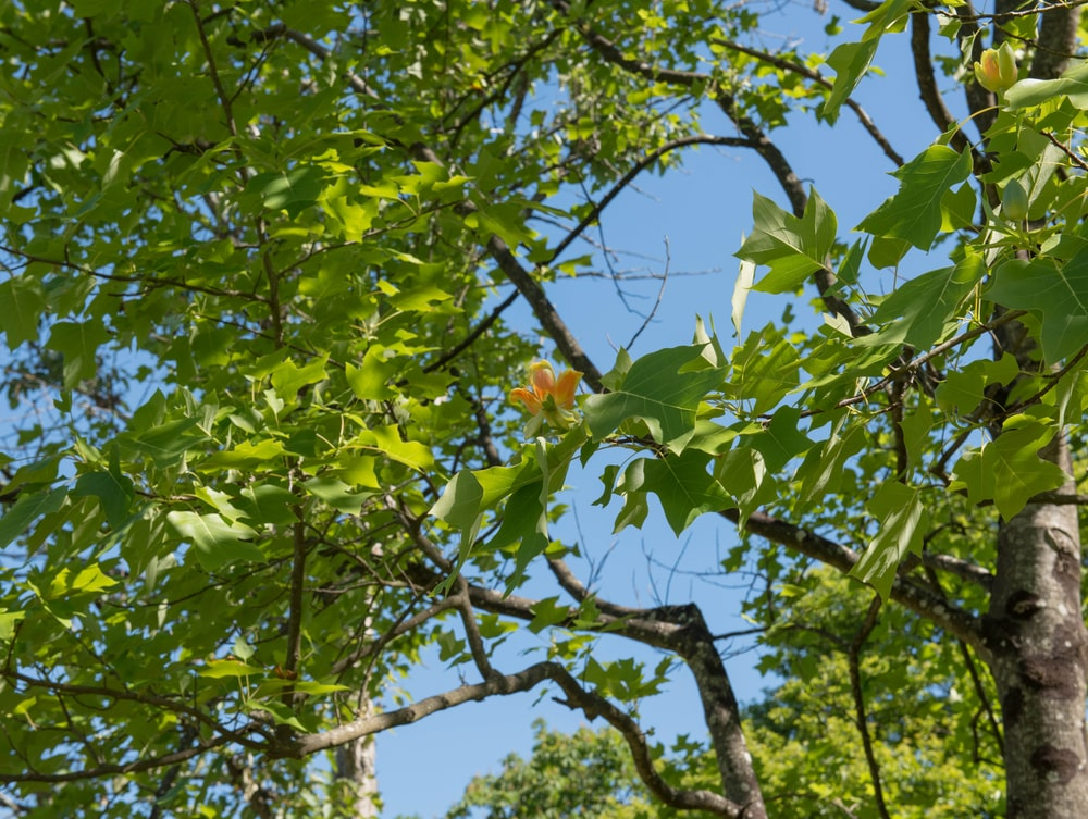 A look up the tulip tree with green leaves and colorful flowers.