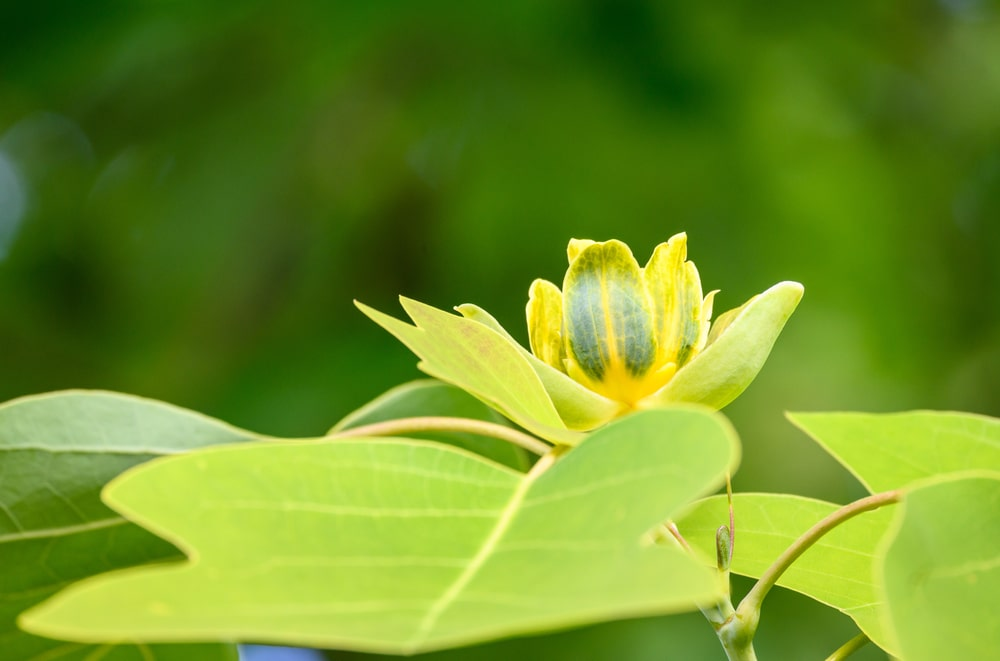 This is close look at the flower of a tulip tree.