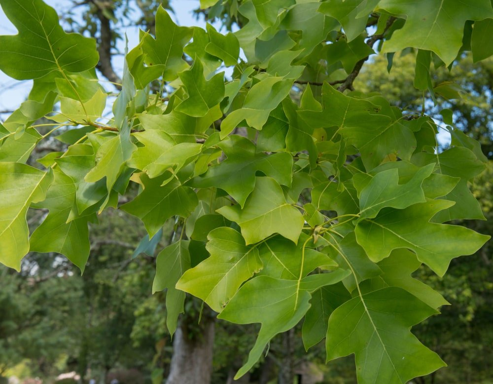 This is a close look at the leaves of a tulip tree.
