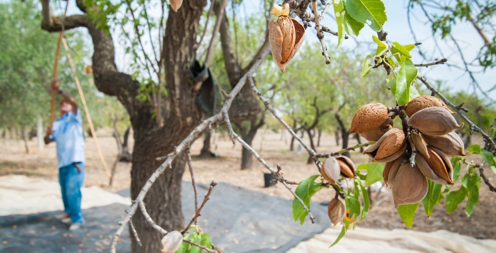 Closeup view of an almond tree.