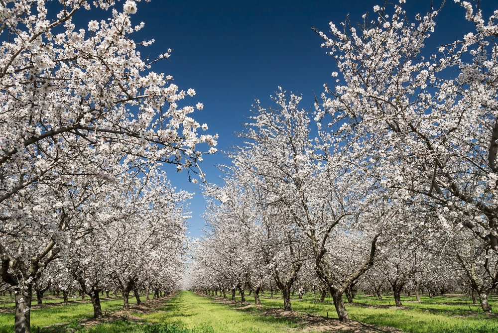Almond trees blooming in an orchard.