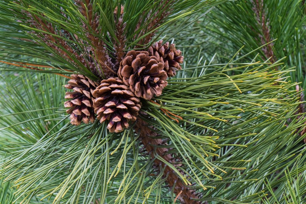 A cluster of pine cones up in the tree.