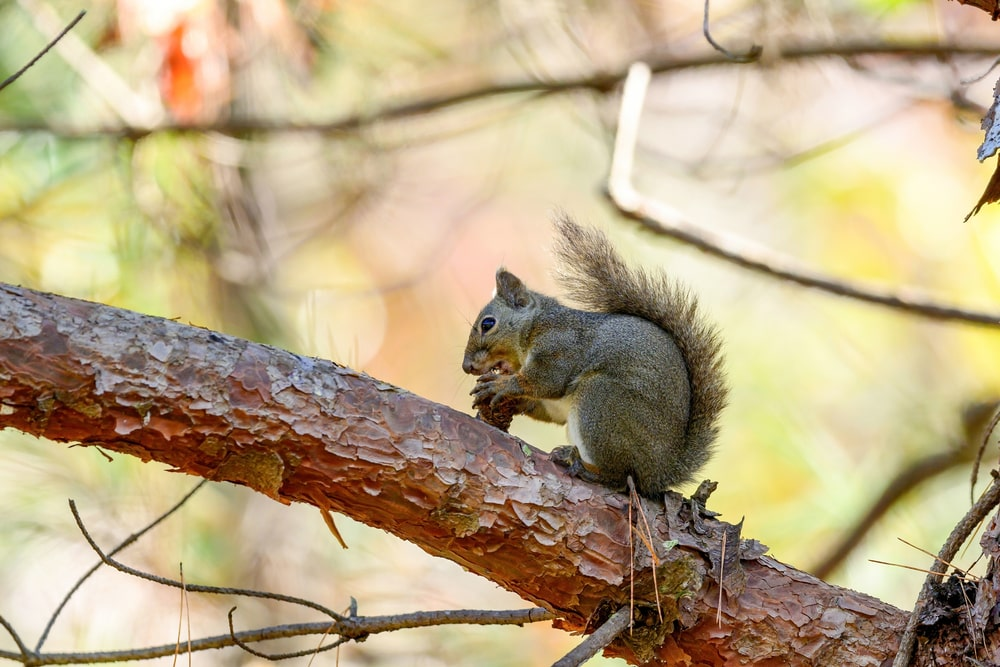 A squirrel eating a pine cone on a tree.