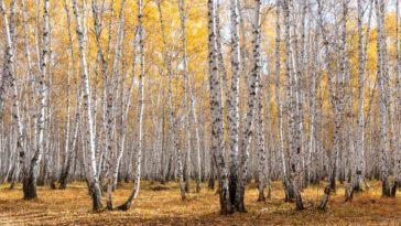 A look at a collection of yellow birch trees.