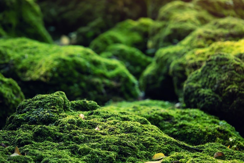 This is a close look ar decorative rocks in a zen garden covered in moss.