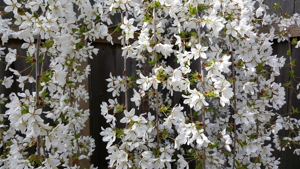 A close look at weeping snow fountain cherry blanketed on a wooden fence.