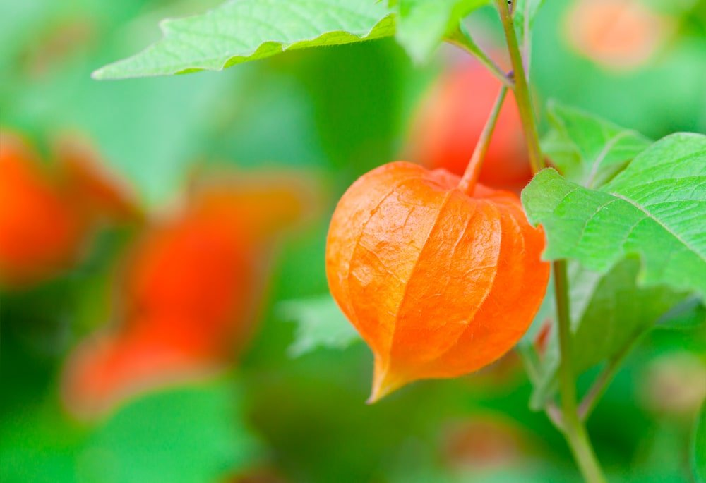 This is a close look at a Chinese lantern plant with bright orange fruits.