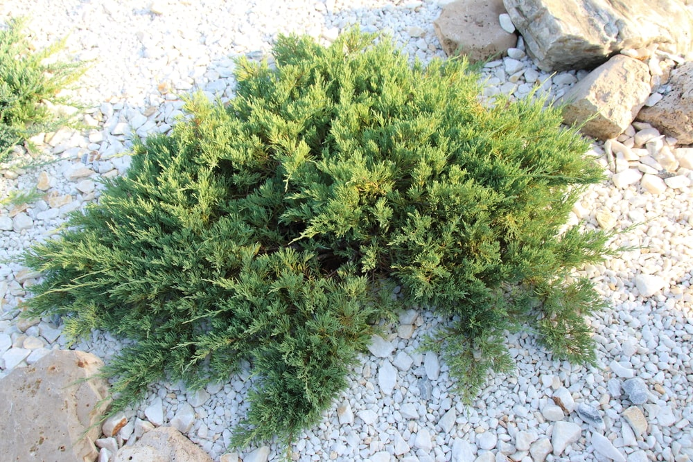 This is a close look at a creeping juniper planted on a graveled zen garden.
