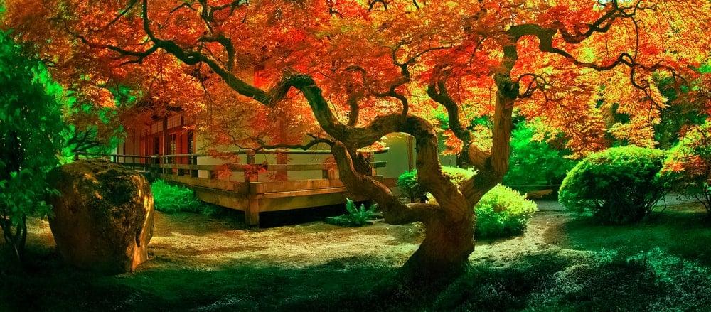 This is a beautiful crimson queen Japanes emaple tree that dominates the zen garden.