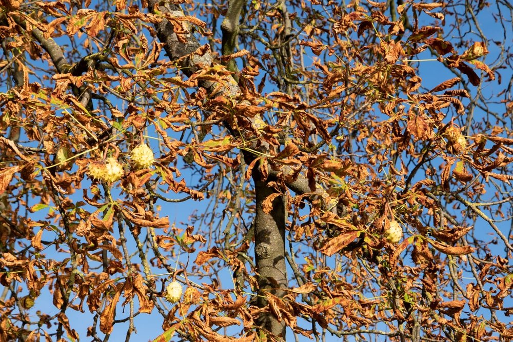 This is a close look at a chestnut tree with drying leaves and spiky chestnuts.