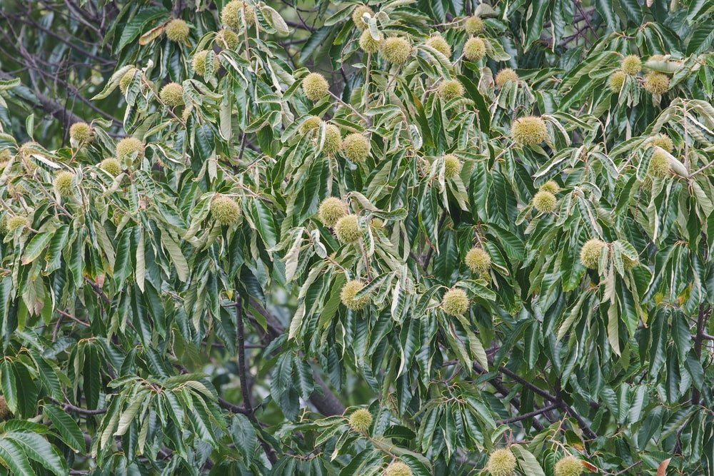 This is a close look at clusters of chestnuts up in the tree.